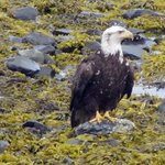 Bald Eagle on Beach in Front of Paddle Inn.