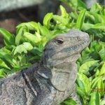 Definitely not an endangered species.  Plenty of iguanas, all shapes, colors and sizes.