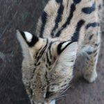 sweetie serval