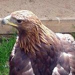 'Shadow' - Golden Eagle