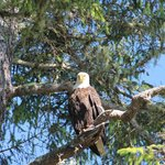 Bald Eagle chilling in the trees above the cove
