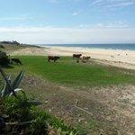 Vacas pastando con vistas al Océano Atlántico, Playa de Bolonia