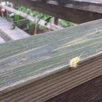 Furry yellow caterpillar (maybe an asp) seen from walkway