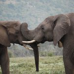 Male elephants at Ol Kinyei