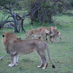Lions in Ol Kinyei