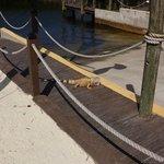 Fearless iguana near the boat ramp
