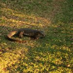 Monitor Lizard on property