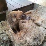 Pancho the Coati