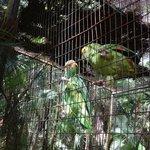 Wild Parakeets