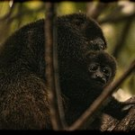 Howler monkeys in the mango trees