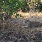 imbabala lions