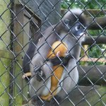 De Brazza's Monkey, Mother and Child