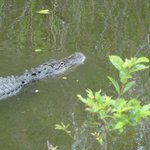 Alligator chilling around