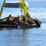 Sealions sun bathing