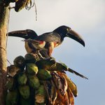 Toucan Belgica