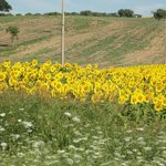 i campi di girasoli