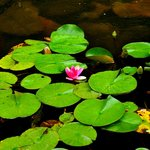 Water lilies in the garden of Lemp Mansion