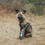 Wild Dog! Alpha Male RARE to see!