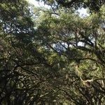 Beautiful oak tree drive