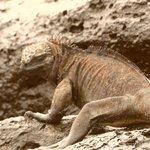 iguana marina en playa Tortuga