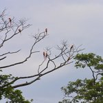 Scarlet Macaws from Beach side of Hotel