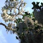 100 year old mossy oaks