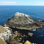 Smaller of the two gannet colonies not far from the boat landing area