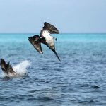 Cuban beaches and wildlife with beautiful pelicans !!!