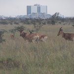 Very cool to see wild animals with a city as a backdrop