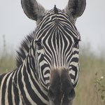 Zebras are very close to the car
