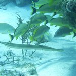 Trumpetfish and Grunts