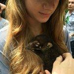 A baby Coati