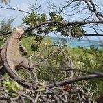 Les iguanes sont très appréciés