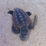 Rescued Baby Sea Turtle!!