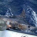 400 lb blue marlin on the Early Bird