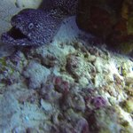 Spotted Moray Attack!