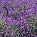 Lavender on the Inn property