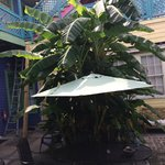 Courtyard Plantain Tree