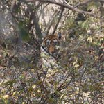 T5 Tigress at the Ranthambhore National Park (Zone 5)