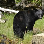 Black Bear at Knight Inlet Lodge