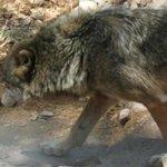 Le loup tourne en rond