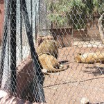 """Le panneau """"Danger"""" est devant l'enclos des lions ..."""