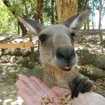 Alimentando a un Kanguro