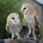 Barn owls. Brother and sister