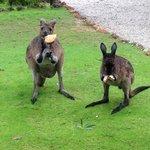 Mummy and Baby Kangaroos