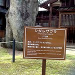 Cartaz com informações sobre a cerejeira pendula
