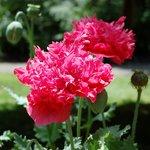 Summer's poppies