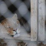 Liger sleeping