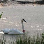 Trumpet Swan by Grace
