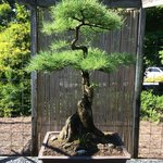 300-year-old bonsai tree